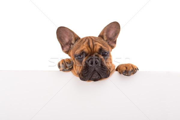 французский бульдог щенков смешные белый баннер Сток-фото © hsfelix