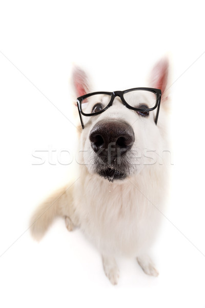 Swiss White Shepherd Stock photo © hsfelix