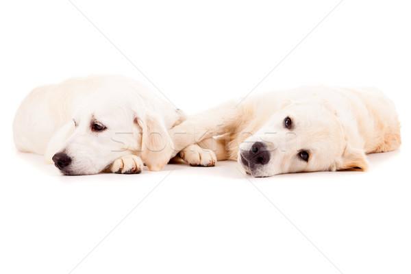Gouden studio foto paar golden retriever puppies Stockfoto © hsfelix