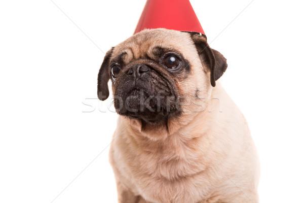 子犬 着用 帽子 孤立した 白 ストックフォト © hsfelix