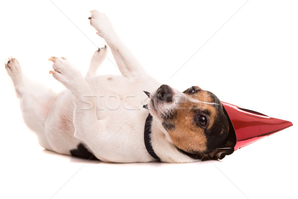 Jack russell cachorro seis isolado Foto stock © hsfelix