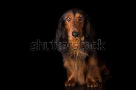 Dachshund hermosa pelo largo amor fondo Foto stock © hsfelix