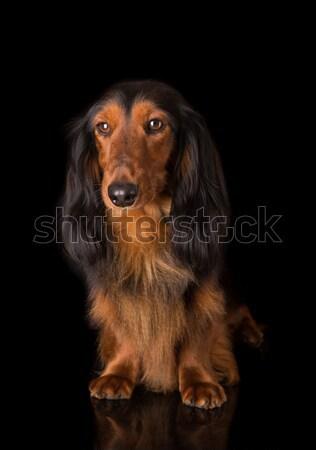 такса красивой длинные волосы собака красный Сток-фото © hsfelix