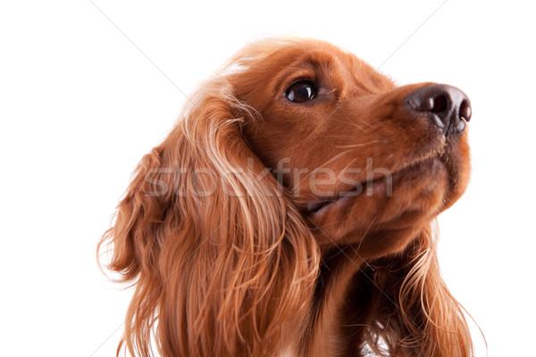 Baby geïsoleerd witte hond gezicht gelukkig Stockfoto © hsfelix