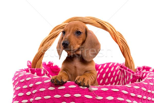 Teckel puppy Stock photo © hsfelix