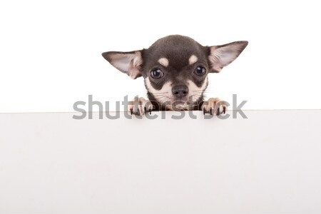 Chihuahua puppy Stock photo © hsfelix