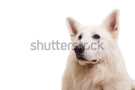Blanche pasteur belle chien posant studio Photo stock © hsfelix