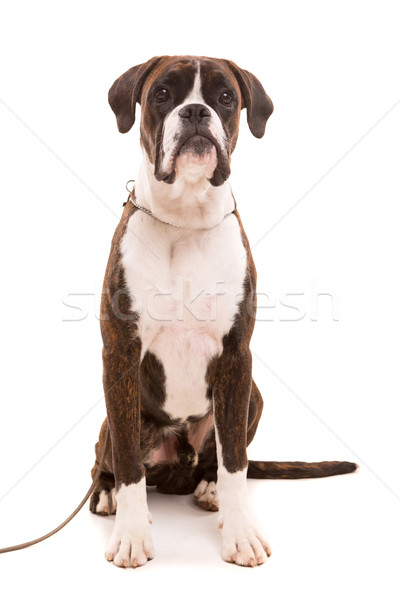 Boxoló fiatal gyönyörű kutyakölyök izolált fehér Stock fotó © hsfelix