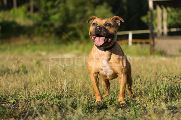 Touro terrier belo posando parque pôr do sol Foto stock © hsfelix