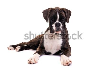 Beautiful Boxer puppy Stock photo © hsfelix