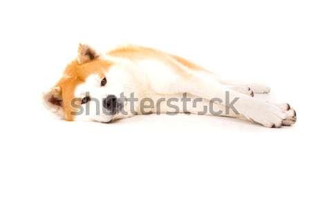 Bella cane posa studio bianco japanese Foto d'archivio © hsfelix