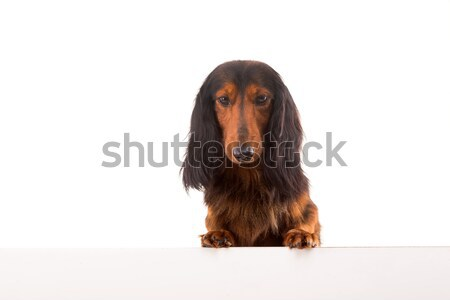 Teckel Dachshund Stock photo © hsfelix
