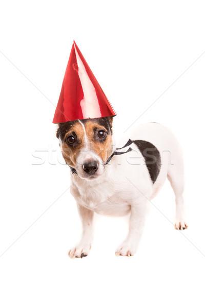 Джек Рассел щенков Hat изолированный Сток-фото © hsfelix