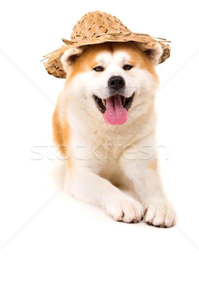 Bella cane pronto estate vacanze divertente Foto d'archivio © hsfelix
