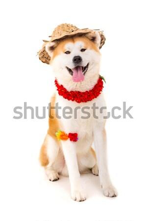 Mooie hond klaar zomer achtergrond Stockfoto © hsfelix