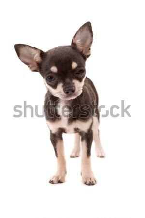 Kutyakölyök stúdiófelvétel izolált fehér kutya stúdió Stock fotó © hsfelix