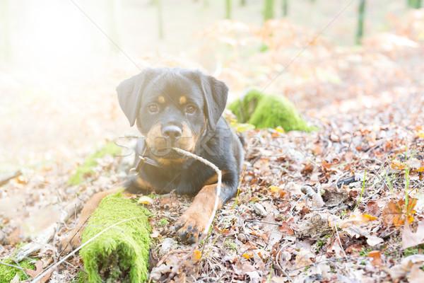 Rottweiler puppy Stock photo © hsfelix