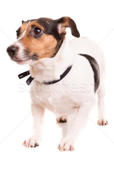 Jack russell terrier pózol izolált fehér kutya boldog Stock fotó © hsfelix