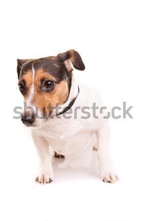 Stockfoto: Jack · russell · terrier · poseren · geïsoleerd · witte · hond · gelukkig