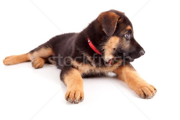 Foto stock: Pastor · cão · isolado · branco · natureza · diversão