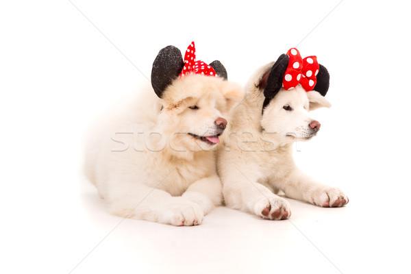 Pár valentin nap kutya fehér japán ruha Stock fotó © hsfelix