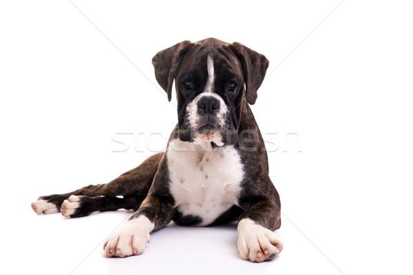 Stock fotó: Gyönyörű · boxoló · kutyakölyök · fiatal · izolált · fehér