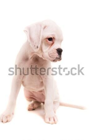 Боксер молодые красивой щенков изолированный белый Сток-фото © hsfelix