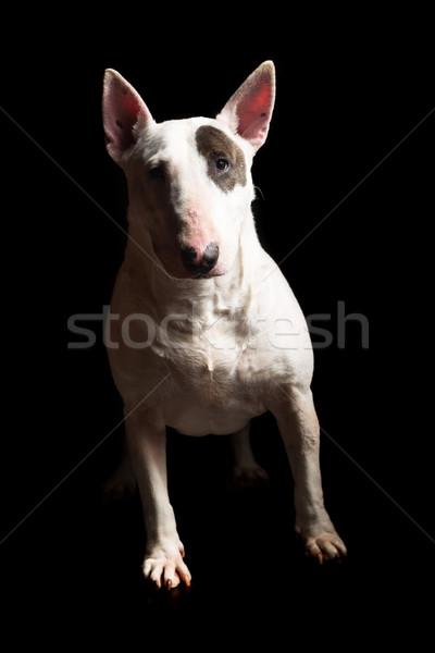 Bull terrier Stock photo © hsfelix