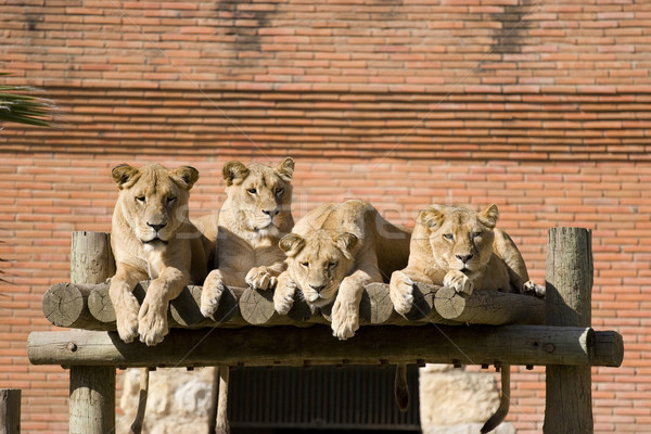 Pack of Lions Stock photo © hsfelix