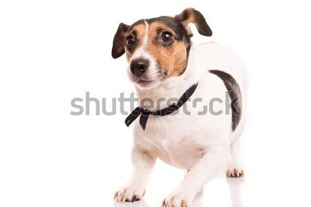 Jack Russell Terrier posiert isoliert weiß Hund glücklich Stock foto © hsfelix