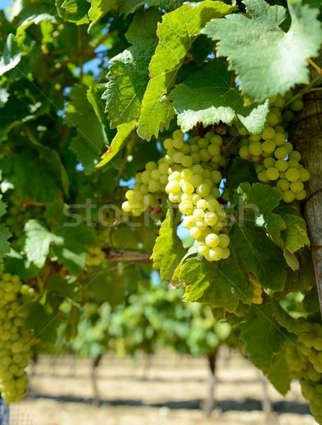 Beyaz şarap üzüm fransız hazır doğa meyve Stok fotoğraf © hyrons