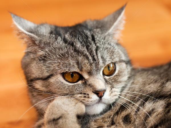 猫 動物 猫科の ペット 英国の 飼い猫 ストックフォト © ia_64