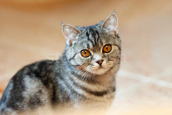 Cat animal Stock photo © ia_64