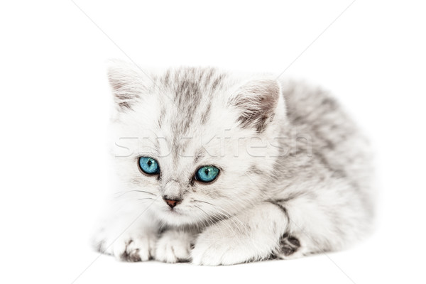 Little british domestic silver tabby cat Stock photo © ia_64