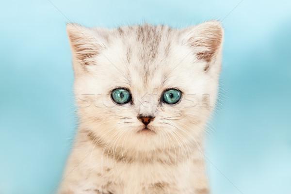 Mały brytyjski krajowy srebrny kot koci Zdjęcia stock © ia_64