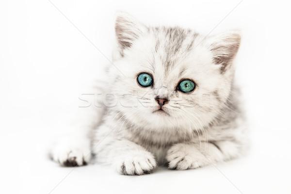 Stockfoto: Weinig · brits · huiselijk · zilver · kat · katachtig