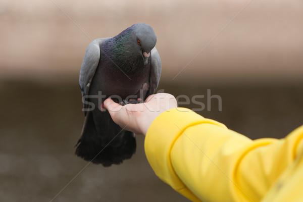 Human feeding pigeon dove Stock photo © ia_64