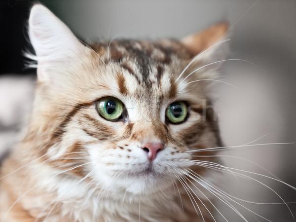 Kedi hayvan kedi evcil hayvan İngilizler Stok fotoğraf © ia_64