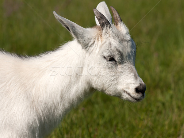 Goat animal Stock photo © ia_64