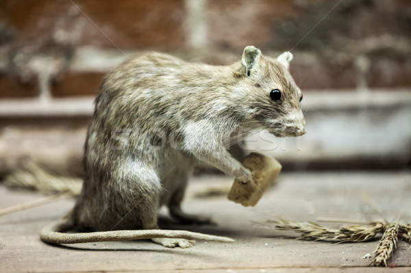 Rat animal eating bread food Stock photo © ia_64