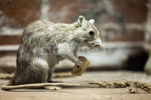 Rat animaux manger pain alimentaire rongeur Photo stock © ia_64
