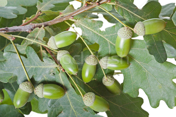 żołądź dąb jesienią charakter orzech zielony liść Zdjęcia stock © ia_64