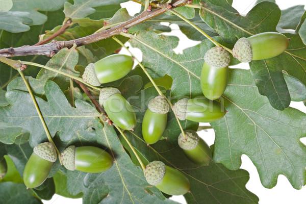Acorn oak tree Stock photo © ia_64