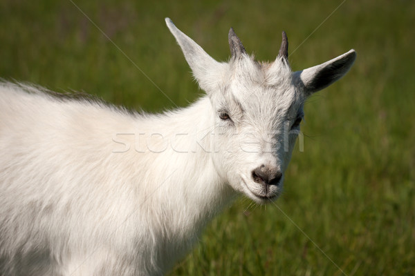 Goat animal Stock photo © ia_64