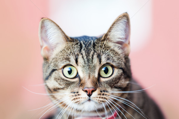 Little british domestic cat animal walking outdoor Stock photo © ia_64