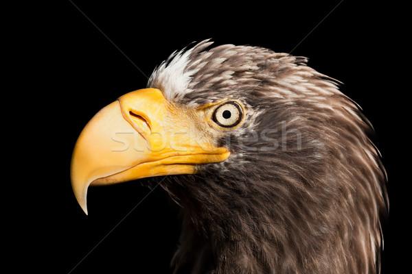 Adelaar vogel wildlife dier natuur vliegen Stockfoto © ia_64