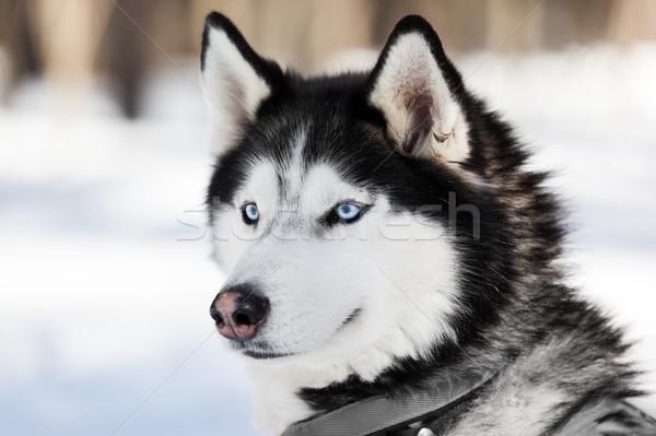 Sevimli boğuk köpek yürüyüş açık Stok fotoğraf © ia_64