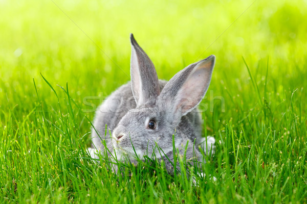 Gray rabbit hiding in green grass Stock photo © icefront