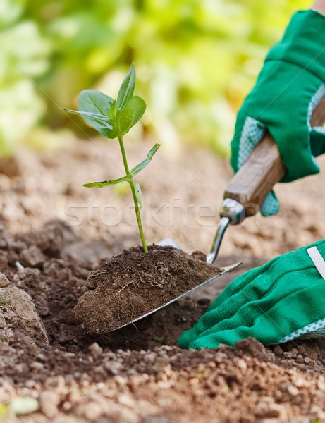 Plant being planted in garden Stock photo © icefront