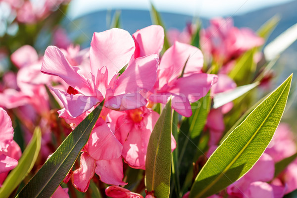 Nerium oleander in Greece Stock photo © icefront